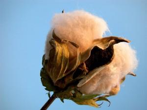 Pluma de algodão colorido