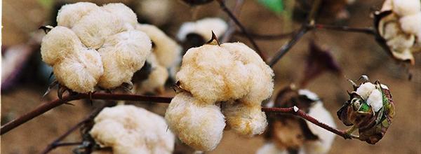 Participantes vão aprender sobre tecnologia do algodão agroecológico, as cadeias produtivas e suas demandas