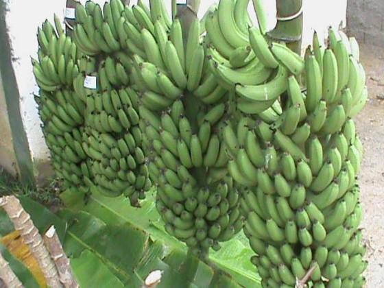 Coopafarga bananas SP